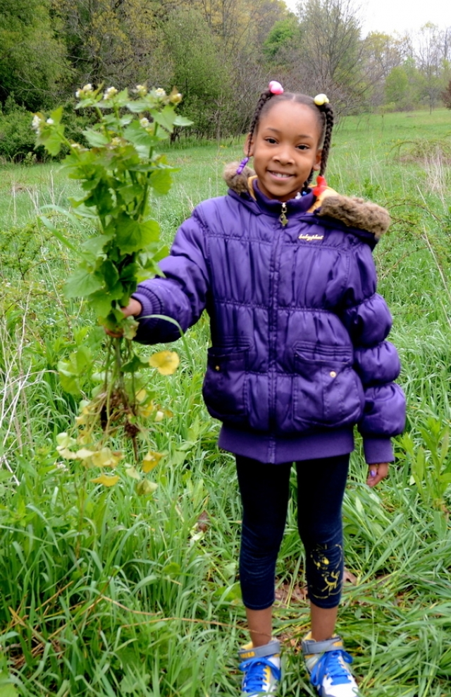 A student picks Garlic Mustard at Kalamazoo Nature Center featured in the article, Garlic Mustard- Education and Engage!, by Lisa Panich on page 8.